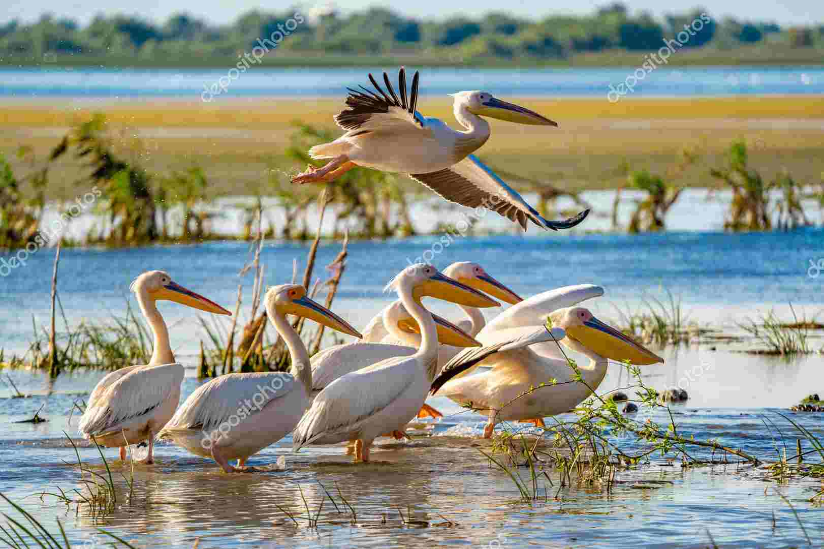 Birdwatching in Danube Delta. The Great White Pelican flying ove
